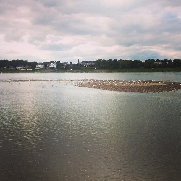 Birds on the Rhine.